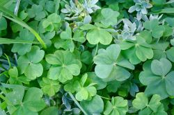 four-leaf_and_five-leaf_clovers